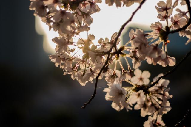 靱公園の桜(2018)